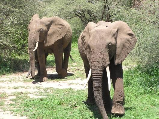 elefanter i Lake Manyara
