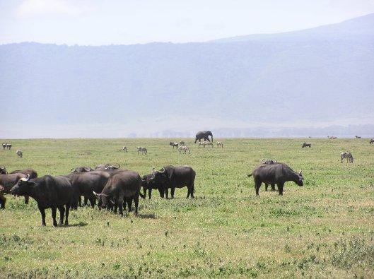 vanlig syn i Ngorongoro
