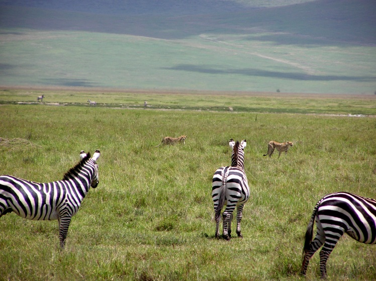 geparder på zebrajakt