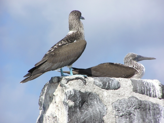 Endemiska blue-footed boobie