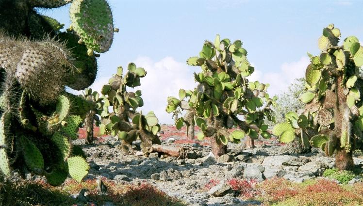kaktuslandskap