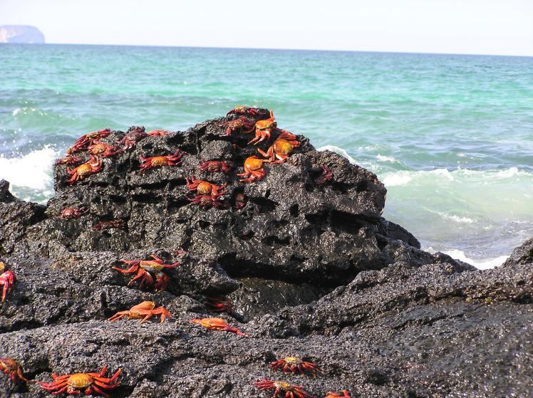 Krabbor på lavaberg
