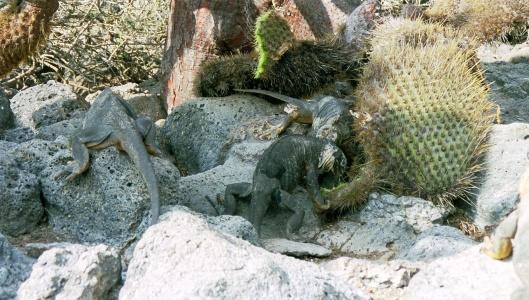 leguaner kakar kaktus