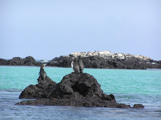 Galapagos är den enda platsen norr om ekvatorn där det finns pingviner.