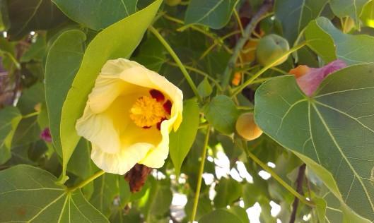 Trädet ovan hyser denna blomma. En växt som jag har i kruka inomhus hemma och som växter så det knakar. Nu förstår jag varthän det barkar. Tur vi har högt i tak...