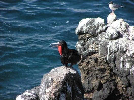 Fregattfågel, Galapagos